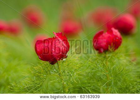 Wild red piones