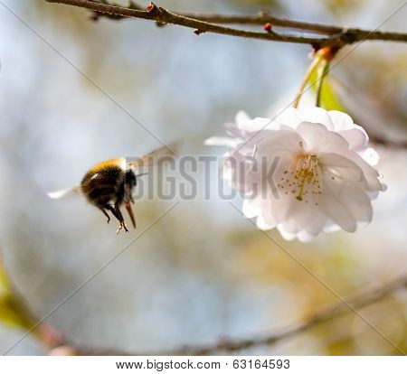 Flight Of  Bumble Bee To A Flower Cherry