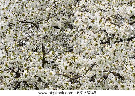 Apple Tree In Fill Blossom