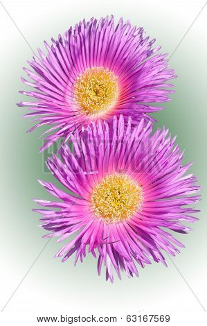 Carpobrotus Edulis(flower)