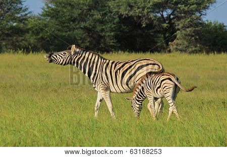 Zebra - Wildlife Background from Africa - Funny Nature
