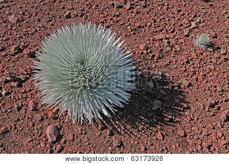 The sacred Silversword Plant, Haleakala, Hawaii