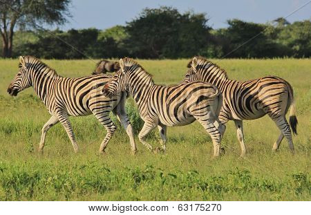 Zebra - Wildlife Background from Africa - Running Stripes
