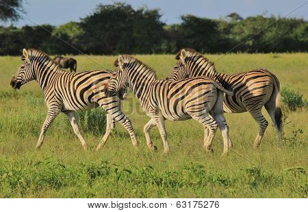 Zebra - Wildlife Background from Africa - Run of Three