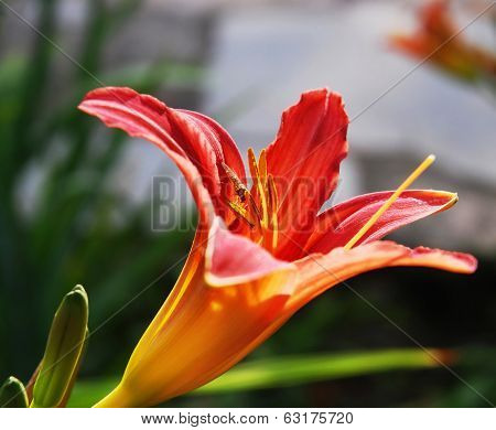 Orange Lily With Flying Insect