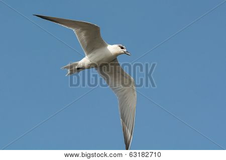 Gull-billed Tern (gelochelidon Nilotica) In Flight