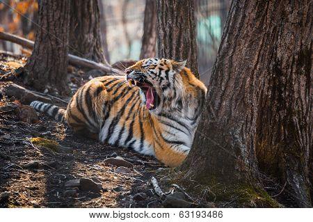 Tiger lying near the tree