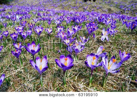 Spring Crocuses Meadow
