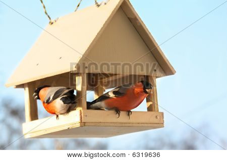 Two Bullfinches In Feed.