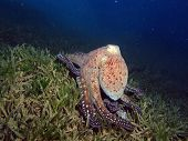 Octopus on seagrass