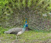 foto of peahen  - Peacock and peahen courting in spring ritual - JPG