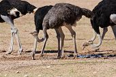 image of ostrich plumage  - Group of ostriches at a waterhole in the dry desert looking for food - JPG