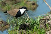Spur-winged Plover (vanellus Spinosus) Alert On A Grassy Bank