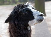image of lamas  - cute lama animal closeup portrait in profile - JPG