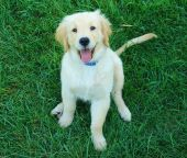 stock photo of golden retriever puppy  - A Golden Retriever puppy in the grass
