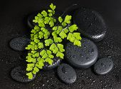 Spa Still Life With Branch Of Fern And Zen Stones With Drops On Black  Background