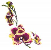Blooming Beautiful Lilac With Yellow Bandlet Orchid Flower, Phalaenopsis Is Isolated On White Backgr
