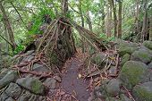 Strangler Fig Gripping rocks in Rainforest