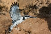 Pied Kingfisher In Flight Holding A Fish In Its Beak