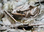Red-legged Frog Hiding in Plain Sight