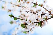 Beautiful blooming branches, close-up, on light background