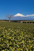 stock photo of kanto  - green tea plantation and mountain fuji at shizuoka prefecture - JPG