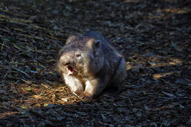 foto of wombat  - Southern Hairy - JPG