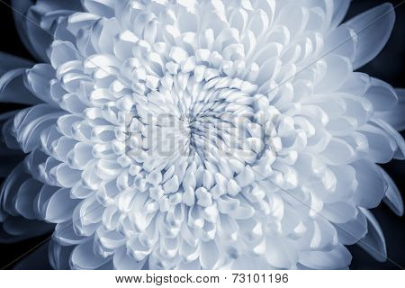 Closeup a Chrysanthemum