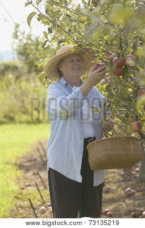 Senior woman picking apples with basket