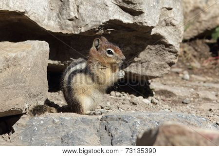 Golden-mantled Ground Squirrel - Banff National Park, Canada