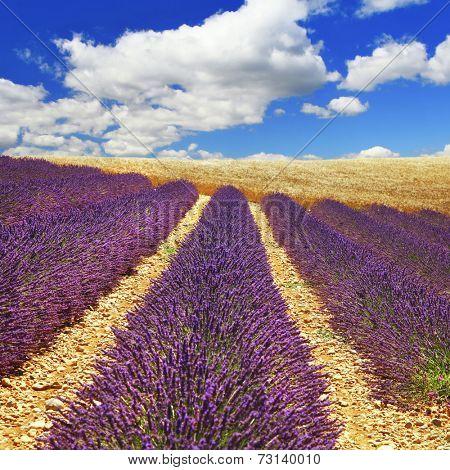 beautiful feelds of blooming lavanda -  Provence, France