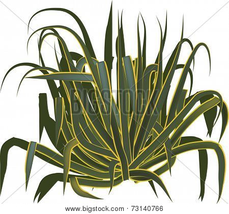 illustration with agave isolated on white background