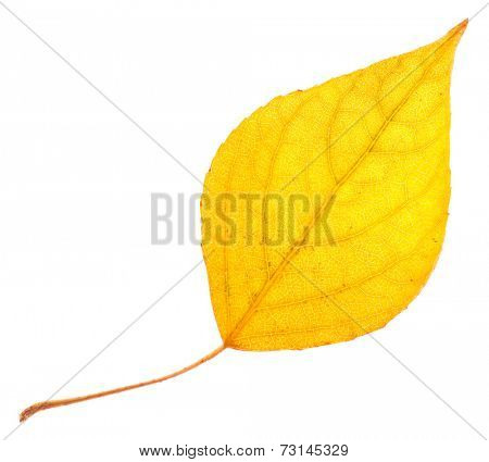 Yellow poplar leaf isolated on white