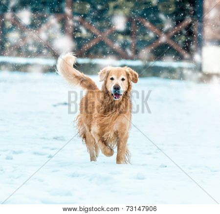 friendly golden retriever walk at the snow in winter park