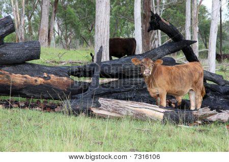 Brangus Calf Stands Amongst Burnt Logs