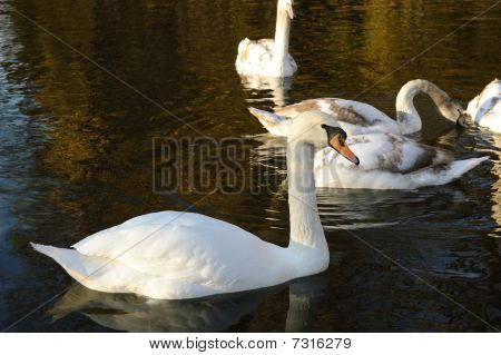 White Swan On The Water In The Park