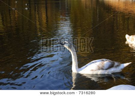 Grey Swan On The Water In The Park