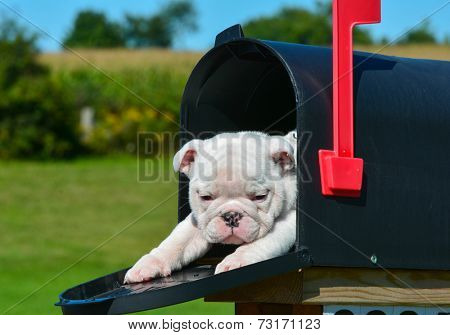 puppy in a mailbox - english bulldog puppy in a rural mailbox