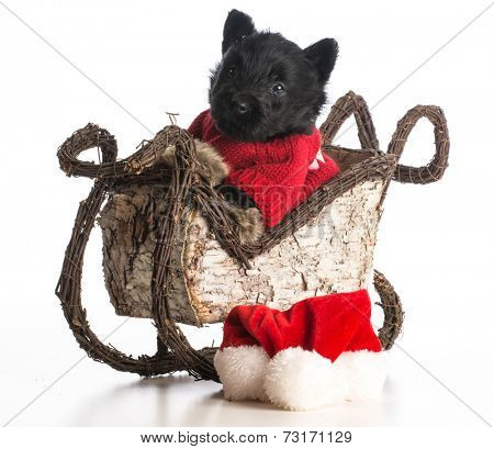 christmas puppy - scottish terrier puppy riding inside sleigh on white background