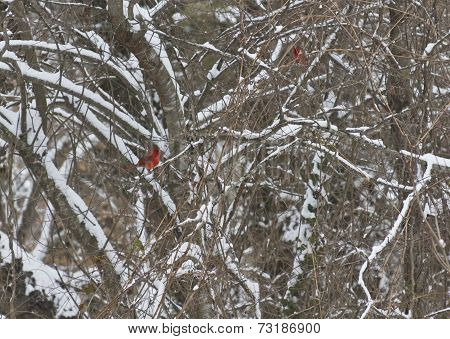 Two Red Cardinals Among Snowy Branches