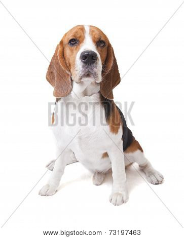 Face Of Beagle Dog