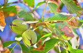 foto of walnut-tree  - ripe walnut  on a tree - JPG