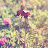 image of carnivorous plants  - Pitcher Plant in Newfoundland  - JPG