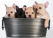 stock photo of wash-basin  - litter of french bulldog puppies in a wash basin on white background  - JPG