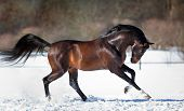 picture of galloping horse  - Horse running in the snow - JPG