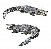 picture of gator  - Crocodiles isolated on white background  - JPG