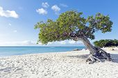 stock photo of caribbean  - Divi divi tree on Aruba island in the Caribbean - JPG