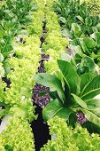 pic of hydroponics  - image of Hydroponics vegetable farm, Frillie Iceburg Lettuce ** Note: Shallow depth of field - JPG