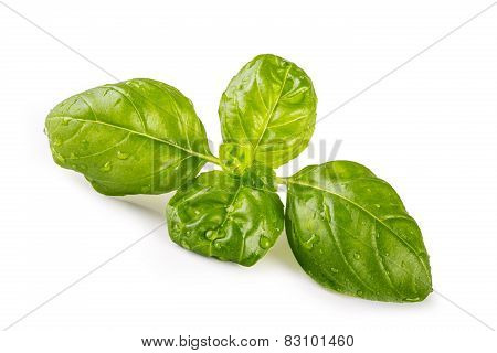 Fresh leaf of basil isolated on white background.