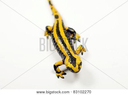 Fire Salamander, Salamandra